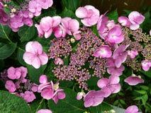 开花的桃红色八仙花属 库存照片