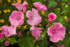 开花的桃红色喇叭花在庭院里开花在雨以后 免版税图库摄影