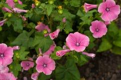 开花的桃红色喇叭花在庭院里开花在雨以后 免版税库存图片