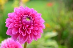 开花的桃红色大丽花 图库摄影