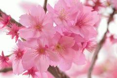 开花的桃红色日本樱花宏观纹理  免版税图库摄影