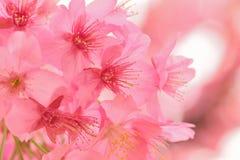 开花的桃红色日本樱花宏观纹理  库存照片