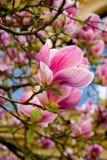 开花的桃红色木兰 库存照片