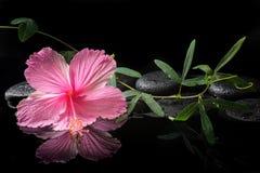 开花的桃红色木槿和绿色卷须的温泉概念 免版税图库摄影