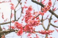 开花的桃红色李子开花 库存图片