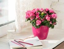 开花的桃红色杜娟花在桃红色花盆白色土气背景中 免版税库存照片