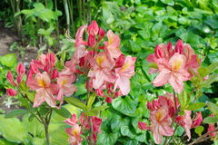 开花的桃红色杜鹃花在庭院里 库存图片