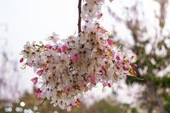 开花的桃红色桂皮bakeriana Craib花 免版税库存图片