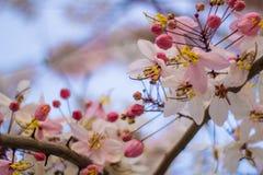 开花的桃红色桂皮bakeriana Craib花 库存图片