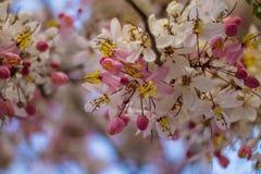 开花的桃红色桂皮bakeriana Craib花 库存照片