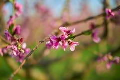 开花的桃红色桃子在树棍子开花在springÑŽ的开头部分 免版税图库摄影
