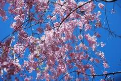 开花的桃红色樱桃树在春天 图库摄影