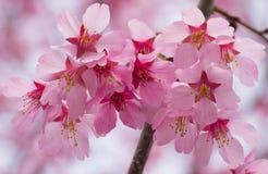 开花的桃红色樱桃花 库存照片