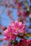 开花的桃红色樱花花 库存照片