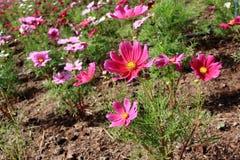 开花的桃红色波斯菊花 库存照片