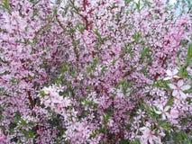 开花的桃红色灌木关闭  免版税库存图片