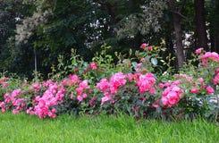 开花的桃红色玫瑰在庭院里 库存图片