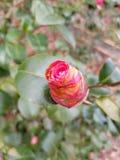 开花的桃红色罗斯 库存图片
