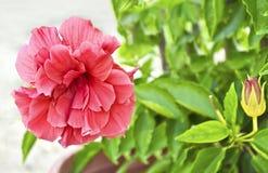 开花的桃红色花照片纹理 免版税库存照片