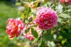 开花的桃红色英语在庭院里上升了在一个晴天 大卫奥斯汀起来了 免版税库存图片