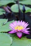 开花的桃红色莲花和蜂 免版税图库摄影