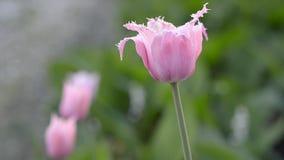 开花的桃红色郁金香在春天