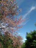 开花的桃红色野生喜马拉雅樱桃开花在蓝天下 免版税库存图片