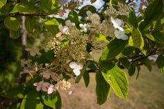 开花的桃红色金刚石八仙花属树 免版税库存照片