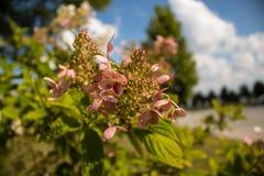 开花的桃红色金刚石八仙花属树 免版税库存图片