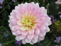 开花的桃红色镶边翠菊 库存图片