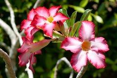 开花的桃红色Adenium -沙漠座莲。 库存图片