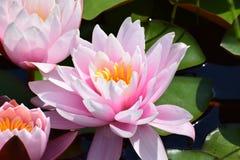 开花的桃红色waterlilies在池塘 免版税库存照片
