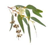 开花的桉树用干果子 隔绝在白色backgro 免版税库存图片