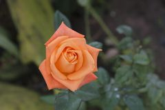 开花的桔子在庭院里上升了 免版税库存图片