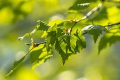 开花的桦树,春天,花桦树,特写镜头,复活节,在天空蔚蓝耳环背景的明信片  库存图片