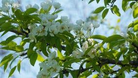 开花的梨的分支 免版税库存图片