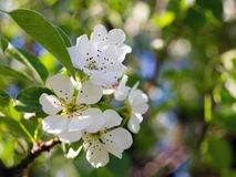 开花的梨 免版税库存照片