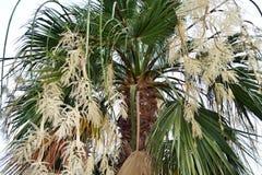 开花的棕榈 免版税库存照片