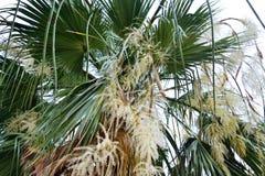 开花的棕榈 库存图片