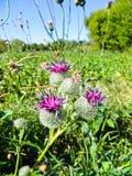 开花的植物名种植在草甸的牛蒡属lappa 库存照片