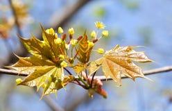 开花的槭树 宏观看法黄色开花和新鲜的叶子反对阳光 软绵绵地集中 减速火箭的样式颜色 免版税库存图片