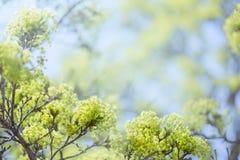 开花的槭树 库存照片