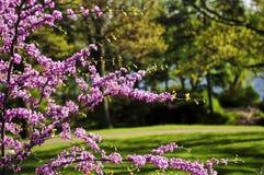 开花的樱桃公园春天结构树 库存照片