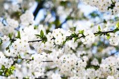 开花的樱桃分支关闭  免版税库存图片