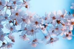 开花的樱桃分支反对蓝天背景 库存图片