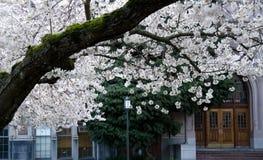 开花的樱桃分支框架校园门和窗口- 2 库存照片