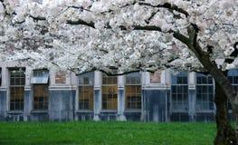 开花的樱桃分支框架校园门和窗口-1 库存照片