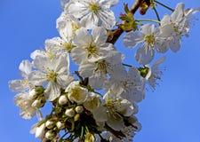 开花的樱桃分支 免版税图库摄影
