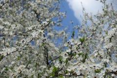 开花的樱桃反对天空的李子分支 免版税库存照片