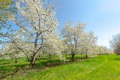 开花的樱桃园在北密执安,美国 免版税库存照片